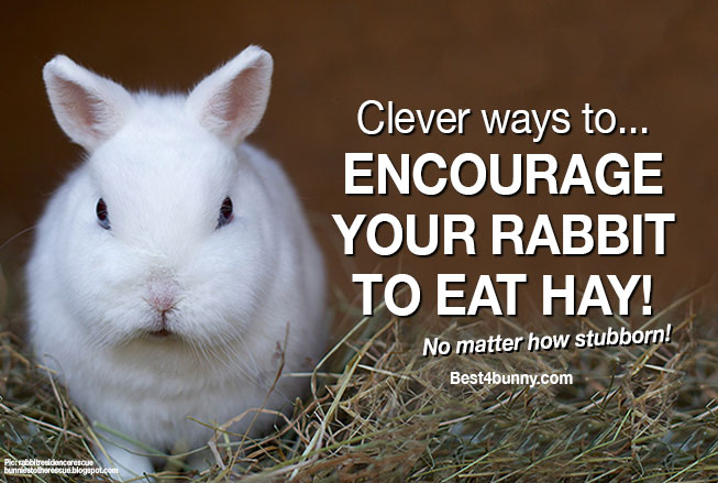 Best4bunny-rabbit-eat-more-hay