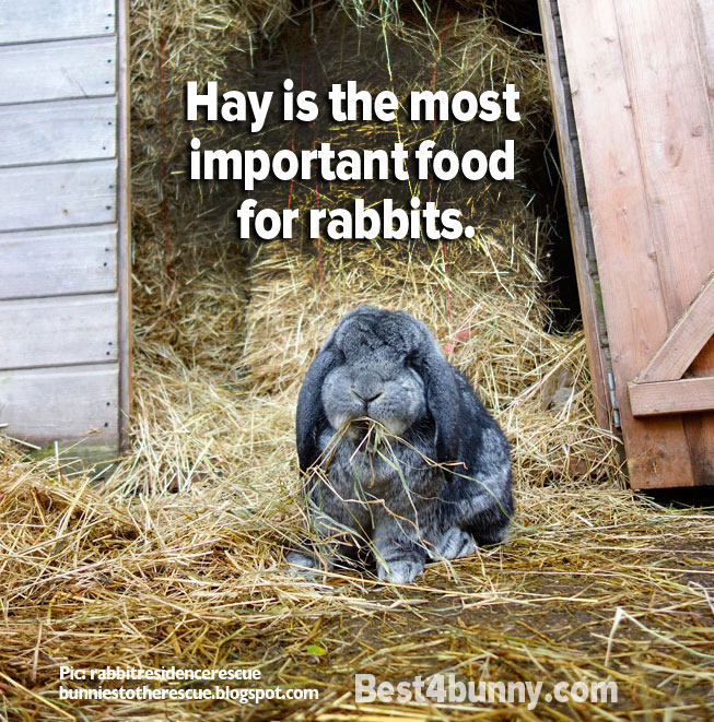 Bunny eating hay poster