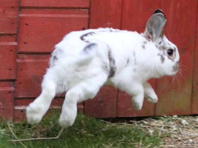 Rabbit jumping